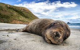 A smiling seal sleeping on the sandy beach of New Zealand stock photography
