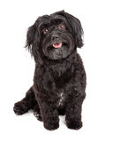 Smiling Havanese Dog Sitting With Mouth Open Royalty Free Stock Images