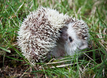 Smiling hedgehog Stock Photos
