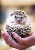 Smiling Hedgehog. Closeup photo of a small hedgehog being held in the palm of a young man