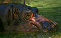 Smiling hippo. A profile headshot of a hippo in the water. showing the eye, ears, nostrils, and mouth. the water around the hippo is crystal clear with a green Stock Images