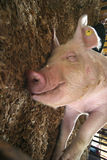 Smiling Hog. Close-up of smiling show hog lying in sawdust in pen Royalty Free Stock Photos