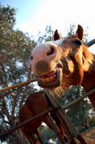 The smiling horse. A horse pictured eating and smiling while doing so Stock Images