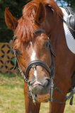 Smiling horse. Funny horse look at camera and smiling Royalty Free Stock Photos