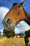 Smiling horse. Close up of a smiling horse, from low viewpoint Royalty Free Stock Image