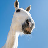 Smiling horse royalty free stock photography