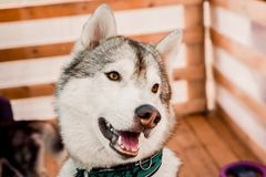 Smiling husky dog on a striped background Royalty Free Stock Images