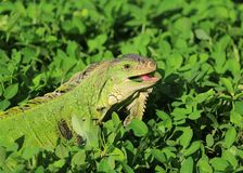 Smiling iguana in grass Royalty Free Stock Photography