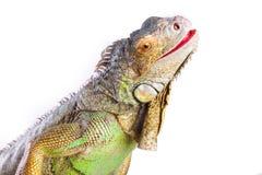 Smiling iguana on isolated white Royalty Free Stock Photos
