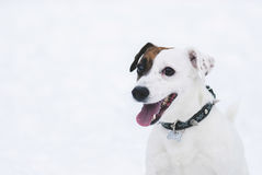 Smiling Jack Russell Terrier dog on white snow background. Winter portrait of cute pet Royalty Free Stock Image