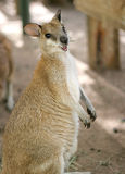 Smiling Kangaroo. Side view of a kangaroo standing upright, body forward, face turned to audience, with a really cute smile on his face Royalty Free Stock Photo