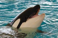 Smiling killerwhale Stock Photo