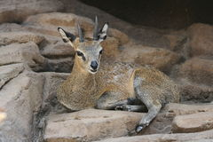 Smiling Klipspringer Royalty Free Stock Image