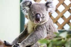 Smiling koala. A smiling adult koala bear royalty free stock photos