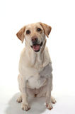Smiling labrador retriever on white background Royalty Free Stock Photo