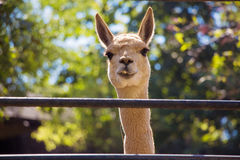 Smiling lama Royalty Free Stock Photos