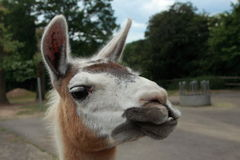 Smiling lama. At the zoo Stock Photography