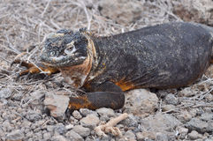 Smiling land iguana. On one of Galapagos islands Royalty Free Stock Images
