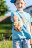 Smiling little boy holding a young chick Stock Images