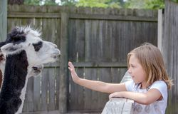 Happy little girl spending time with friendly llamas stock photo