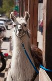 The smiling llama. A llama looks directly at the viewer in this image while seeming to smile Royalty Free Stock Images