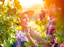 Smiling love couple in vineyard. Eating grapes while harvest time stock photography