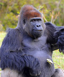 Smiling Male Lowland Gorilla Stock Photography