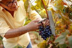 Smiling man picking red wine grapes on vine royalty free stock photo