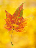 Smiling maple leaf Royalty Free Stock Photography