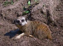 Smiling meerkat Stock Image