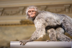Smiling monkey Royalty Free Stock Photo