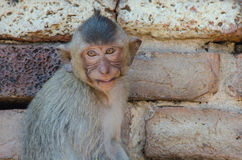 Smiling Monkey Royalty Free Stock Images