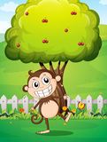 A smiling monkey at the yard in front of the tree with cherries Stock Image