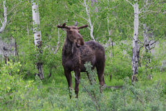 Smiling Moose. Grazing in the forest in Grand Teton National Park Royalty Free Stock Photography