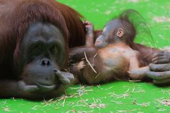 Smiling mummy orangutan taking care of her sleepy cute little baby royalty free stock photos