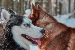 Smiling muzzle husky dog. Portrait of happy Siberian husky on walk in winter forest. Smiling muzzle husky dog. Portrait happy Siberian husky on walk in winter Royalty Free Stock Image