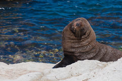 Smiling New Zealand Fur Seal (kekeno) on rocks at Kaikoura Seal Royalty Free Stock Image