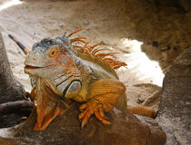Smiling orange iguana Stock Photography