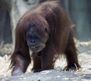Smiling orangutan Stock Image