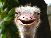 Smiling Ostrich. A jolly shot of a smiling ostrich royalty free stock photos
