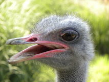 Smiling ostrich Royalty Free Stock Image