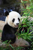 Smiling panda Royalty Free Stock Images