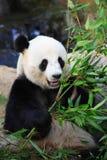 Smiling panda Royalty Free Stock Images