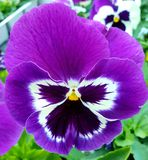 Smiling pansy, photographed in Bloemfontein, South Africa