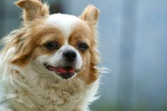 Smiling Papillon dog Royalty Free Stock Photos
