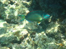 Smiling parrotfish Royalty Free Stock Images