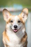 Smiling Pembroke Welsh Corgi portrait Stock Image