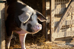 Smiling Pig. A Smiling black and white Pig Stock Photography