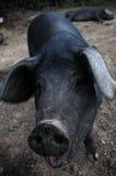 Smiling Pig Stock Image