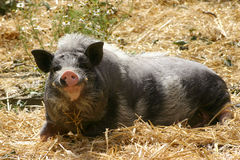 Smiling pig Royalty Free Stock Image